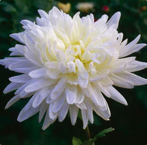 Хризантема махровая платье невесты выращивание 99