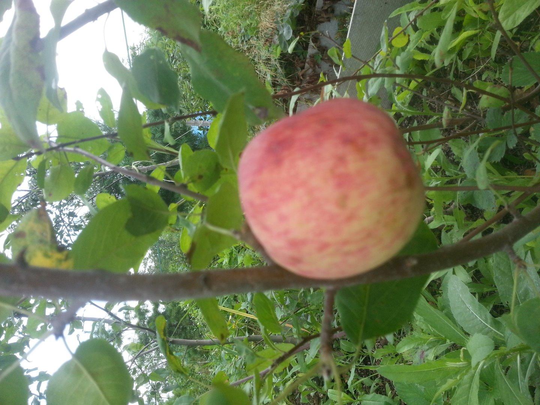 Яблоня подарок осени характеристика сорта 53