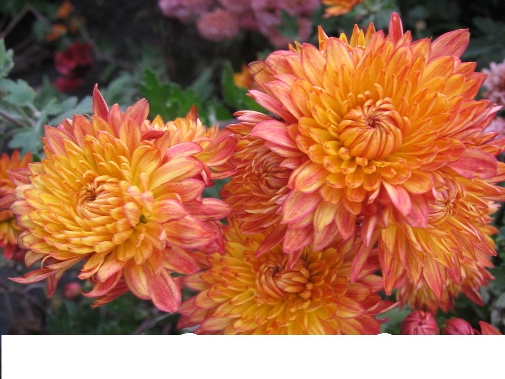 рыбники хризантема описание фото корейская золотая осень считая редких